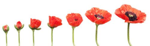 red-poppies-14809503
